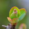 木瓜の新芽