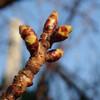 八重桜定点観測