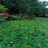 京都・大原野 - 大原野神社 鯉沢池の睡蓮