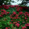 無農薬の「秋の詩」「みどり豊」の籾擦りと稲刈り
