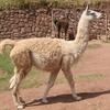 リャマの特徴:web動物図鑑