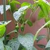 梅雨を迎えた野菜たち