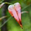 雨に濡れた南天の葉