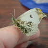 翅先が黄色い白い蝶 ツマキチョウ