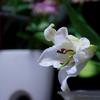 漱石前期3部作第2作・「それから」では百合の香りが二人の過去を呼び起こす