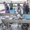2019年4月2日 小浜漁港 お魚情報