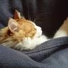 冬の朝は 起きにくい 猫ちゃーもぬくぬくしたい