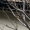 いました。安川緑道公園に古川河川敷にジョウビタキいました。