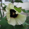 綿花の栽培記録