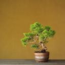 藤花園の盆栽日記