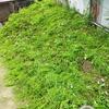 週末は草刈りで身体を動かしています。電動草刈り機はお勧めです。