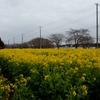 我孫子市「菜の花まつり」のいっぱいの菜の花