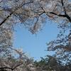 弘前に桜のハートを探しに行った