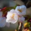 奈良も桜が開花しました