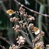 冬のノリウツギ