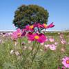 【お花見9】 荒川下流に咲くコスモス