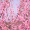 リベンジ!世界の梅公園で梅の花を撮る