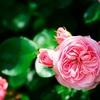 薔薇咲く季節