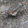綺麗な翅のアゲハチョウ(ナミアゲハ)を撮る