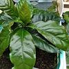 【挑戦】アラビカコーヒーを水耕栽培で作ってみよう 2019