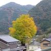 大銀杏がジワジワと紅葉です。