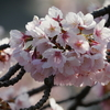 2週連続「椿寒桜」