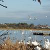 瓢湖(阿賀野市)も白鳥飛来の季節到来