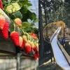 丹波たぶち農場に「いちご狩り」に行って来た!からの丹波並木道中央公園で遊んできた♬~たらふく苺が食べられます~