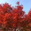 イロハモミジの今年の紅葉