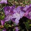 図鑑 紫色のツツジ