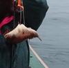 ショウサイフグ釣り
