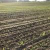 トウモロコシの芽が出てきた。広大な穀倉地帯にナポレオンの影も見えるなんて知りませんでした。