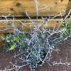 【黒い枝葉と黄花が個性的!】『コロキア・コトネアスター』の地植え成長記録 ~ほぼ放置で2年間育成~