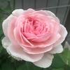 オリビアローズオースチン、初夏の2番花! 春後のお礼肥から再開花まで