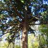 みそか月なし千とせの杉を抱くあらし