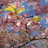 早咲きの桜を観賞する。