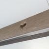 巣作り3日目。ツバメの巣は、なぜしっかりと壁にくっついているのか?