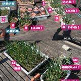 ベランダ菜園の様子、去年のニンニクと比較、一部を除いてかなり順調