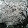 「桜の森の満開の下」を走る