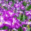 群馬県館林市の2019年(令和元年)の花菖蒲園の開花情報