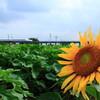 山と向日葵と新幹線