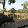 インド、特有の牛の救急搬送サービス