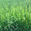 今年も稲作は順調なようです