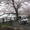 奥琵琶湖 海津大崎 桜満開ツーリング