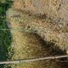 スナップエンドウ 収穫終了