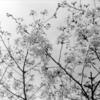 モノトーンで桜を撮る