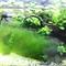 ADA60cm水槽の現在-アオミドロとADAの侘び草がすごい