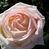 バラが咲いた〜♪