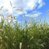 エノコログサが群生している草地