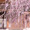 ハチスカサクラが見頃に:護国神社